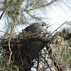 House Crow chick