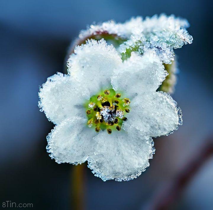 Những cánh hoa trong tuyết tạo nên vẻ đẹp làm say lòng người.