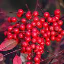 Nandina berry