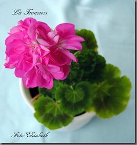 Pelargonium juli -11 012