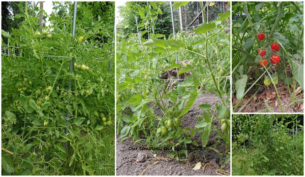 Tomatoes, end of May 2013