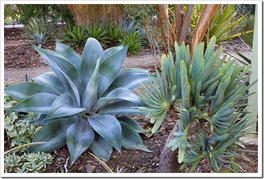 121013_RBG_Agave-Blue-Flame- -Aloe-plicatilis_02