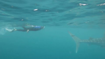It doesnt get much better than swimming with these amazing Whale Sharks