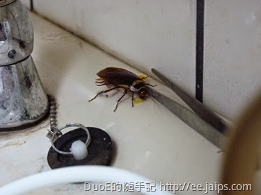蟑螂正在食餌(一點絕)