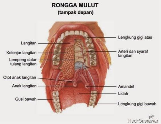gambar anatomi mulut