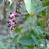 Pokeberry, Pokeweed