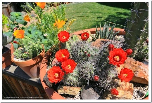 150414_Echinocereus-triglochidiatus_001