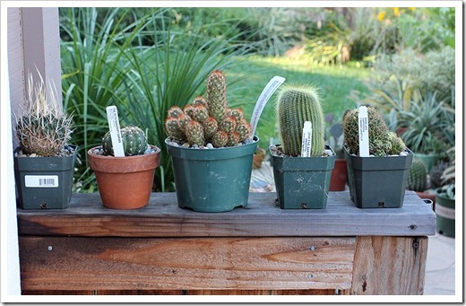 111029_potted_cacti_on_fence