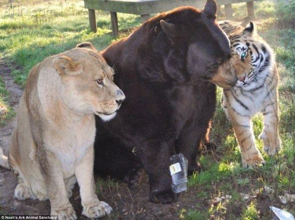 Baloo là anh gấu Mỹ đen, vì to xác nhất nên được