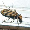 Bentsen blister beetle