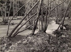 Albert Renger-Patzsch - Wald - 1960