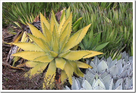 121228_UCBotGarden_Agave-xylonacantha- -Agave-parryi-huachucensis_02