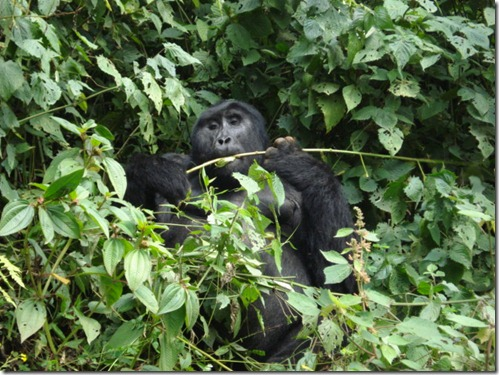 A wild mountain gorilla feeding away in Volcanoes National Park, Rwanda