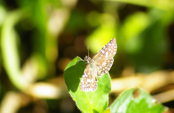 Hesperiidae : Pyrgus orcus STOLL, 1780. Saut Athanase (Guyane). 21 novembre 2011. Photo : J.-M. Gayman