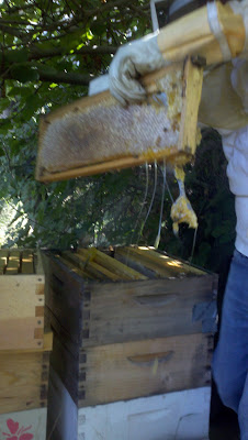 removing the honey comb, harvesting honey