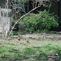 (2) American Robin(s)