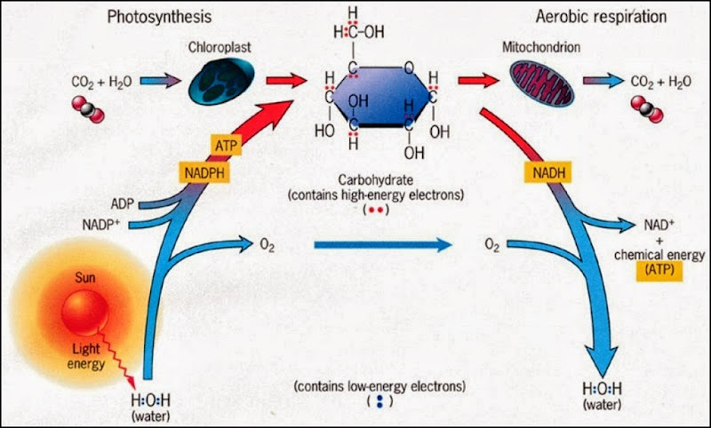 An overview of the energetics of photosynthesis and aerobic respiration