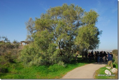 Tamarisk tree at Neot Kedumim, tb011012331