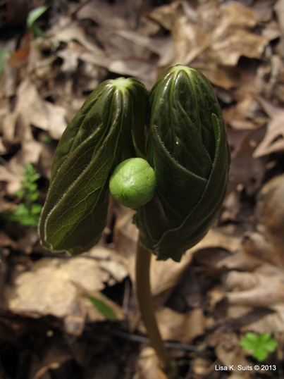 2 leaf mayapple bud low