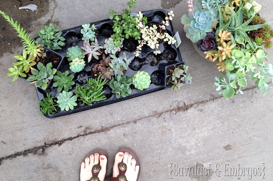 Succulents from Lowes {Sawdust and Embryos}