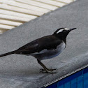 White-browed Wagtail / Large Pied Wagtail
