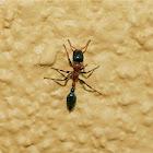 Bicolored Arboreal Ant
