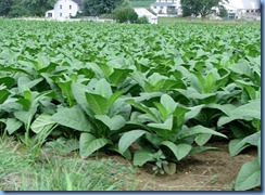 1901 Pennsylvania - near Strasburg, PA - tobacco crop