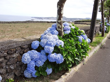 02. Hortensii, floarea din Azore.JPG