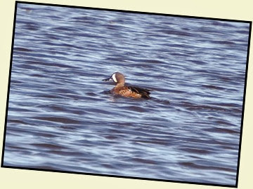 01h - Early Morning Walk - Blue Winged Teal