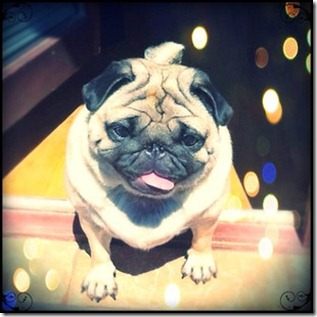 luna-pug-dog-photo