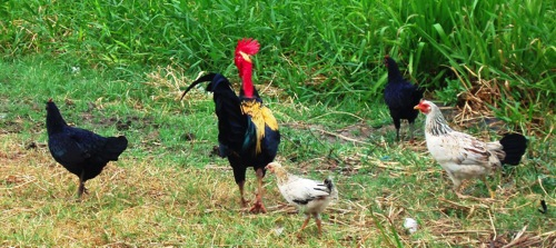 Chickens on a Guyanese roadside