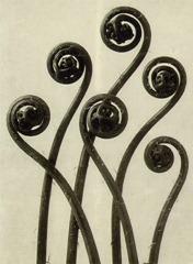 Karl Blossfeldt - Maiden-hair fern