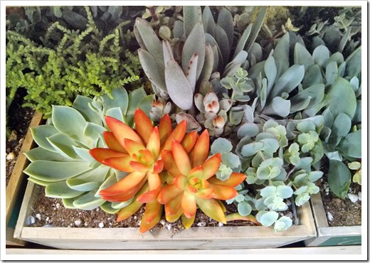 130612_SucculentGarden_Costco_10