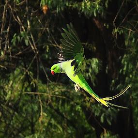 Landing by Madhu Soodanan - Animals Birds