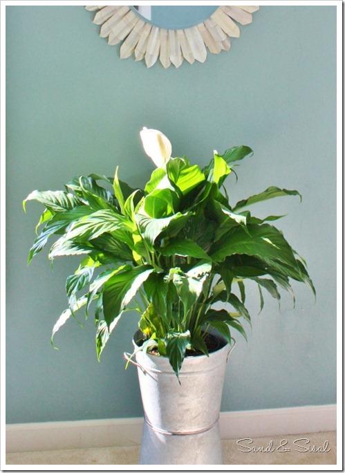 Galvanized Bucket plant (588x800)