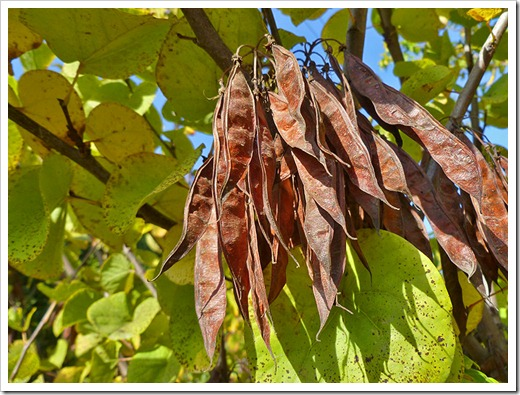 111115_Cercis-occidentalis_003