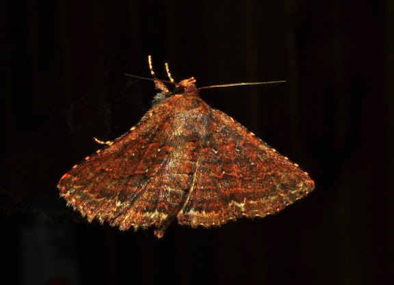 Noctuidae : Catocalinae : Praxis marmarinopa MEYRICK, 1897 (?). Umina Beach (New South Wales, Australie), 12 mai 2011. Photo : Barbara Kedzierski