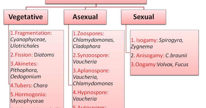 Vaucheria asexual reproduction advantages
