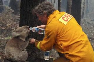 Trong trận cháy rừng tàn phá khắp bang Victoria, Úc vào năm 2009, một người lính cứu hoả trong lúc làm nhiệm vụ đã dừng lại cho chú Koala uống nước, chú đã uống 1 hơi 3 bình nước. Hình ảnh này sau đó đã lan rộng trên Internet, người ta tán dương và thán phục hành động cao đẹp của vị lính cứu hoả, chỉ cần đó là sinh mạng đang tồn tại thì phải cứu giúp, bất kể người hay động vật.