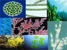 algae group