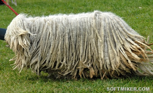 komondor_big