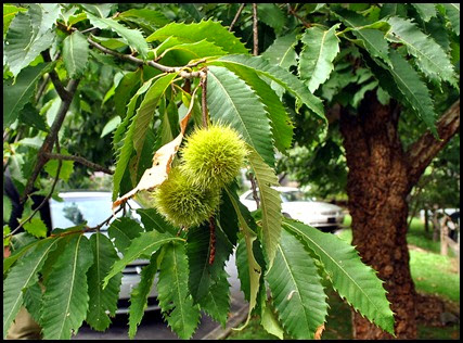 25i1 - Anna Ruby Falls - Trees and Flowers - Edible Sweet Chestnut Tree