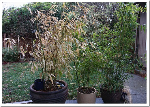120120_potted_bamboo