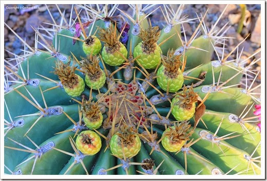 131004_RBG_Fall_Sale_Ferocactus-pottsii_01