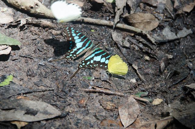 Graphium policenes (CRAMER, 1775) et Eurema senegalensis (BOISDUVAL, 1836). Ebogo (Cameroun), 20 avril 2013. Photo : C. Basset