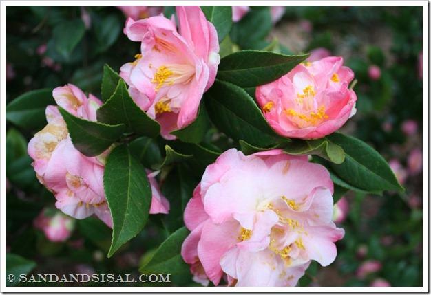 Mrs. Lyman Clark Camellia (1024x683)
