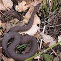 Narrowheaded gartersnake
