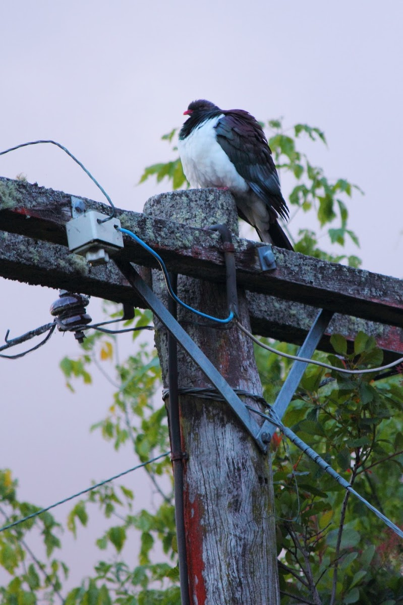 Kereru, New Zealand native wood pigeon