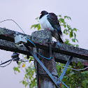 Kereru, New Zealand native wood pigeon