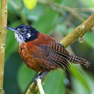 suara burung